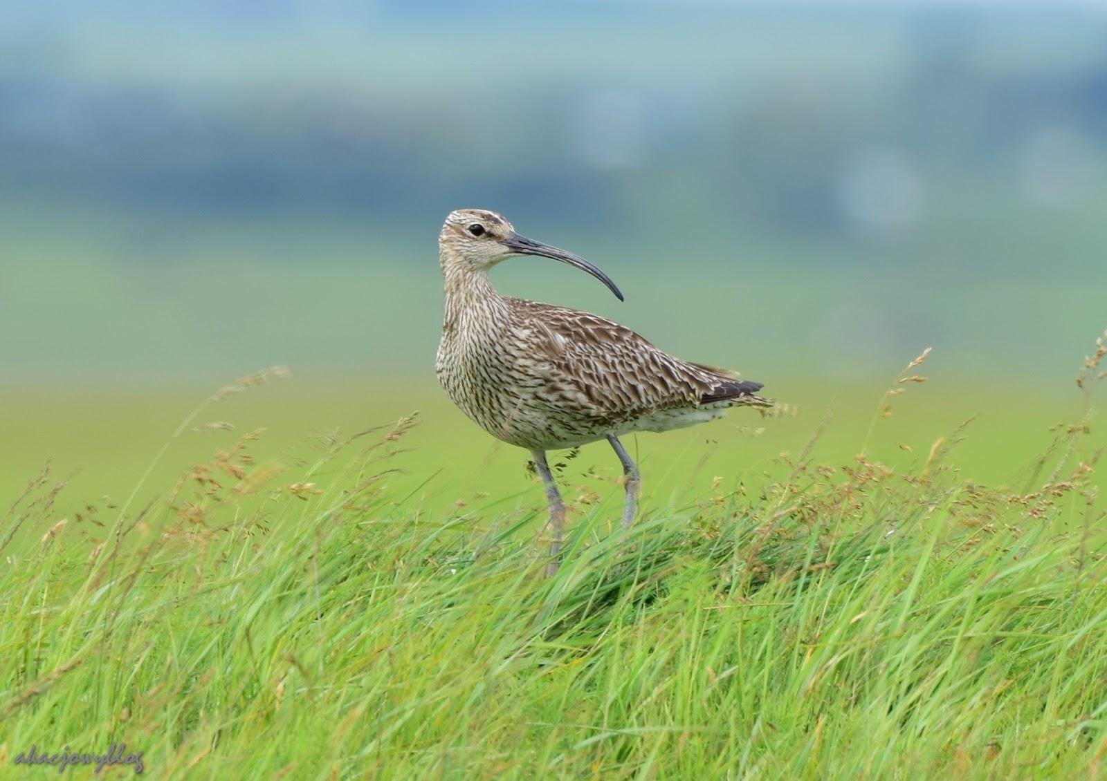 Ptaki Islandii - część 4.