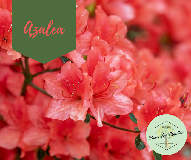 Spring safety 10 common flowers that are toxic to dogs Azalea