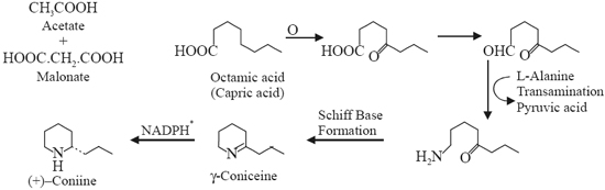 Biosynthesis of g-Coniceine and Coniine
