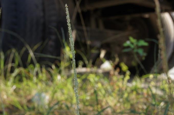 Diantara rumput liar