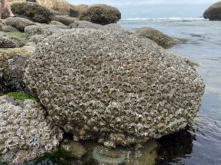 Aggregating anemones at Cape Kiwanda Tidal Pools.