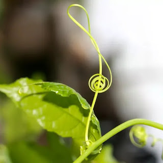 Directional response of plants : Thigmotropism