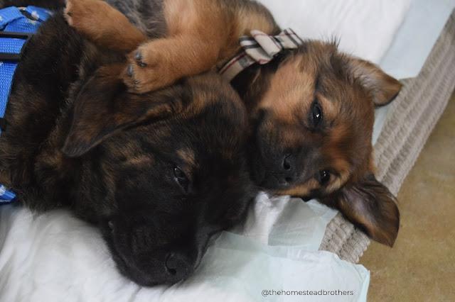 Mis cachorros cuando llegaron a casa