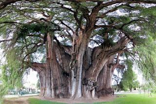 Pohon Unik Tree of Tule Mexico