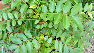 Simarouba glauca (Paradise Tree) leaves caribbean bahamas