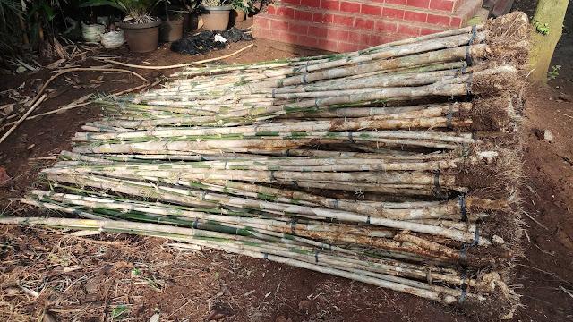 Jual bibit pohon bambu jepang di bali - Alby flora