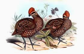 Stripe faced Wood-quail