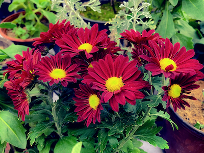 Red daisies with green leaves stock image