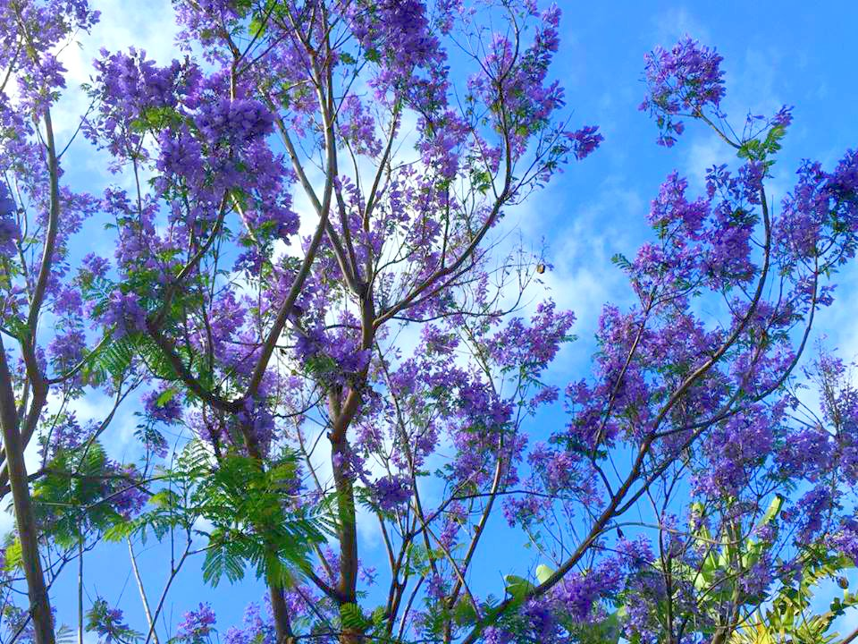 In California Jacarandas Are Known As The Trees That Bloom Twice A Year Although Fall Is Generally Not Striking Spring