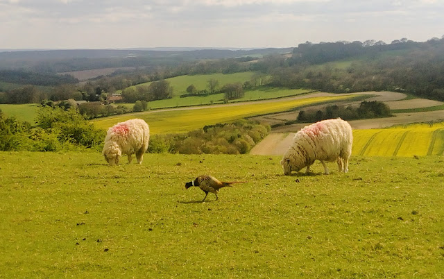 Two sheep grazing on a hill in the background, with a pheasant in the foreground