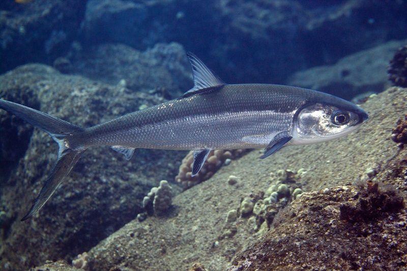ikan bandeng berasal dari daerah