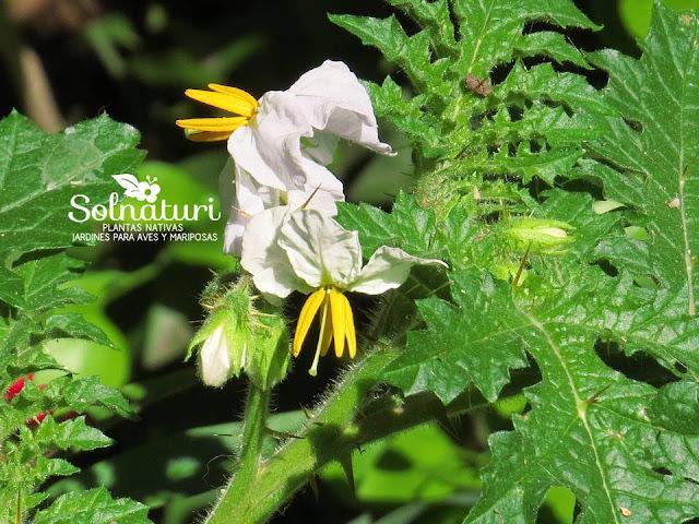 Solanum sisymbriifolium  Revienta caballos
