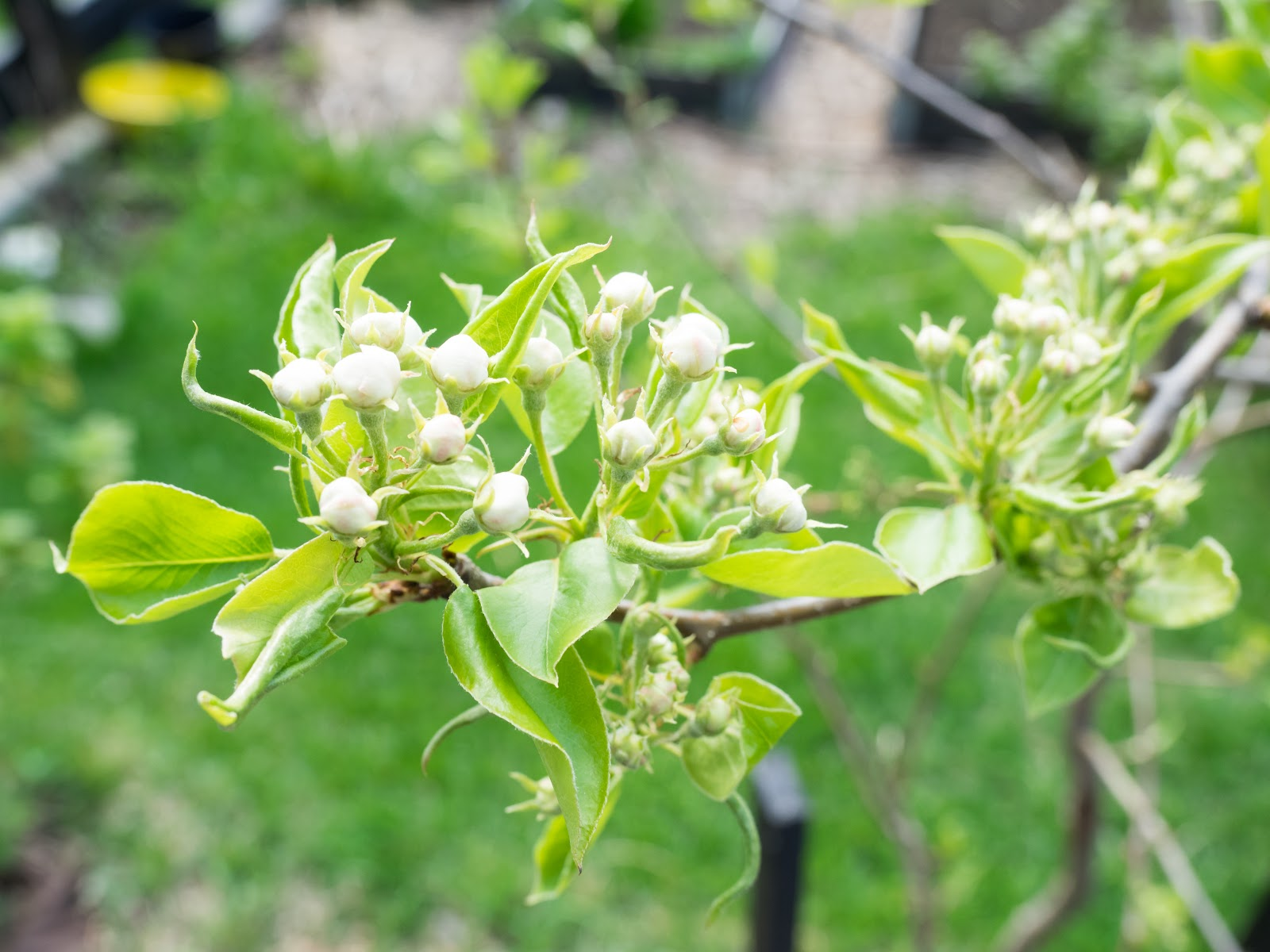 puutarha päärynäpuu kukkii