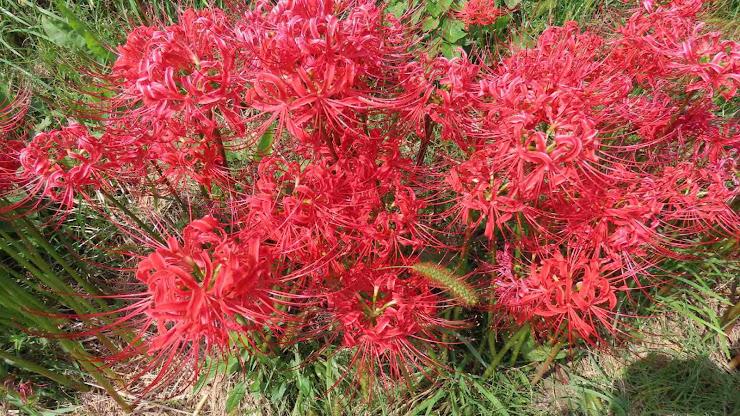 紅い彼岸花