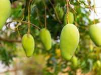 Gampang, Lakukan Cara Ini Agar Pohon Mangga Tumbuh Subur dan Berbuah Lebat!