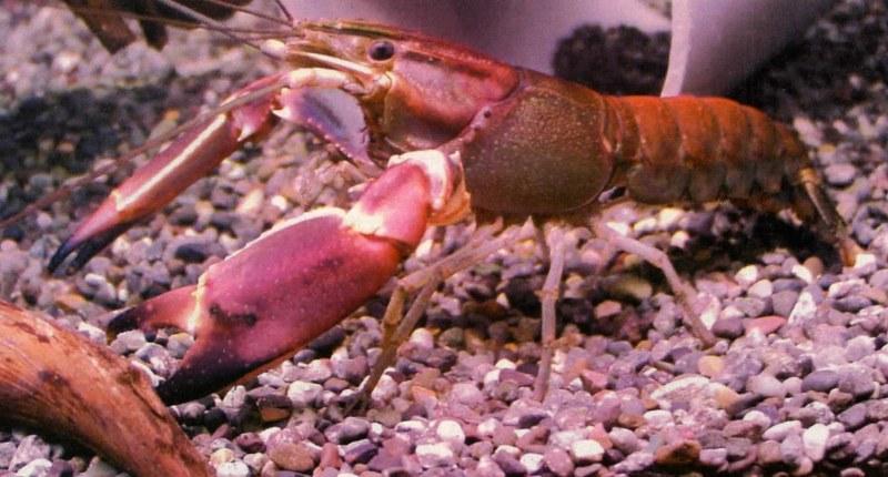 Jenis Lobster Air Tawar Konsumsi Dengan Harga Jual Mahal Budidaya Tani