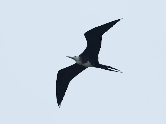 Magnificent Frigatebird - Florida