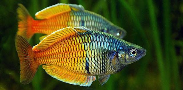 Gambar Ikan Rainbow Fish - Budidaya Ikan