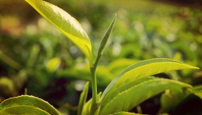 Hojas de planta de Té