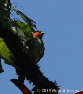 Chestnut-crested Cotinga