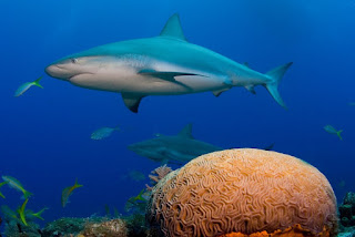 reef shark, coral reef, shark