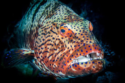 Klasifikasi Ikan Kerapu Macan dan Morfologi Ikan Kerapu Macan (Epinephelus fuscoguttatus)