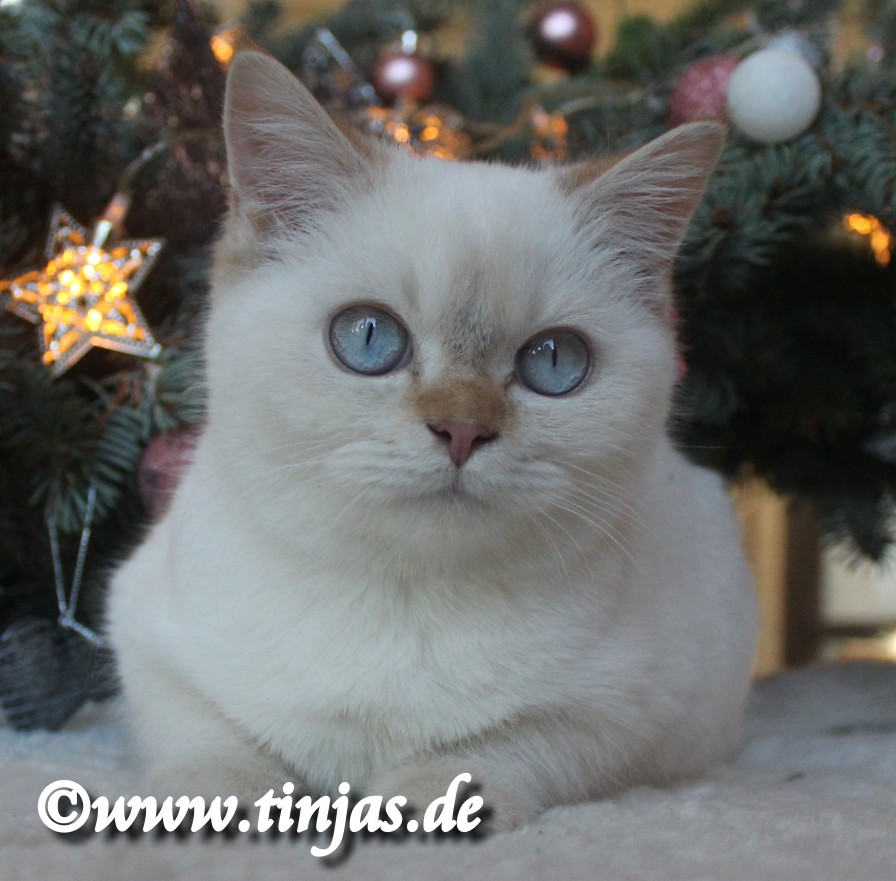 Britisch Kurzhaar Katzenbaby 4