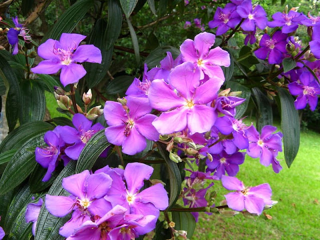 quaresmeira-roxa-com-flores