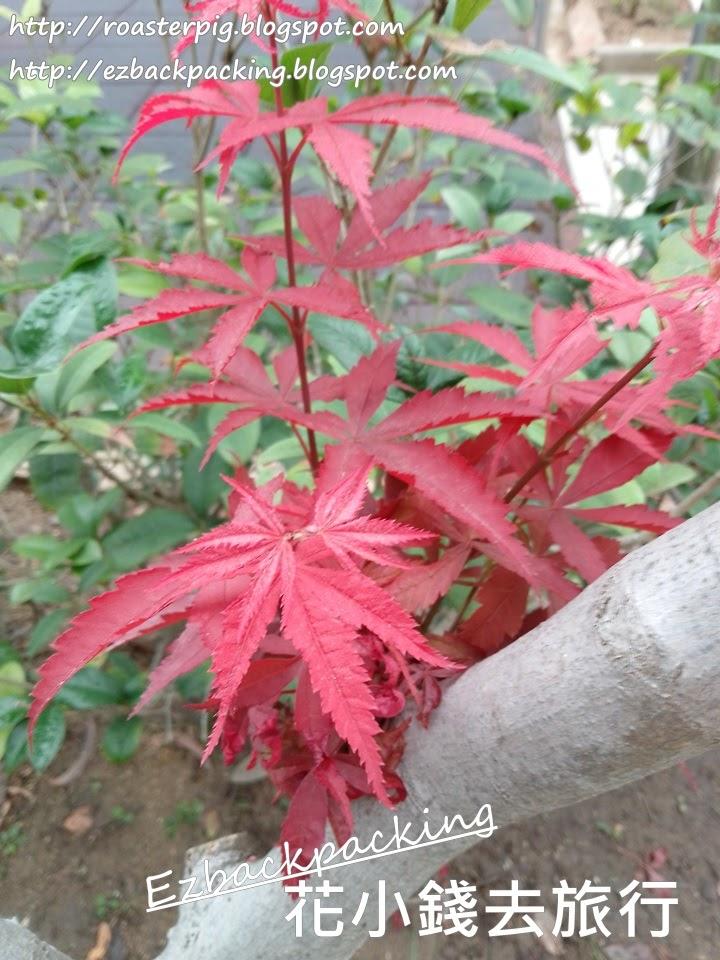 荔枝角紅葉