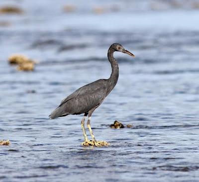 Pacific Reef-egret