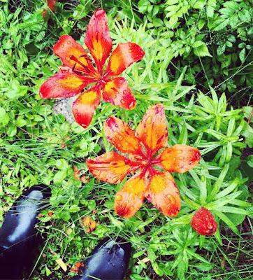 ruskolilja, lilja, sadekeli, kumisaappaat, keisarinkruunu