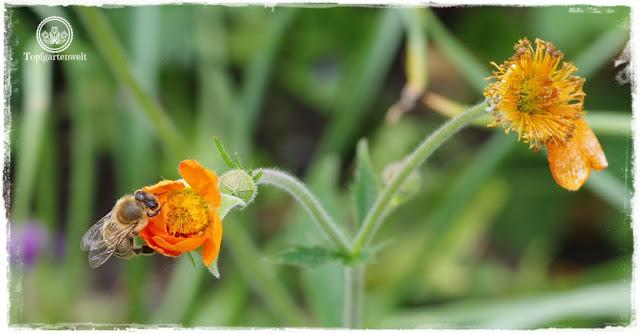 Gartenblog Topfgartenwelt Buchtipp Makrofotografie - die große Fotoschule: Makrofotografie Pentax KS1 - Biene auf Nelkenwurz