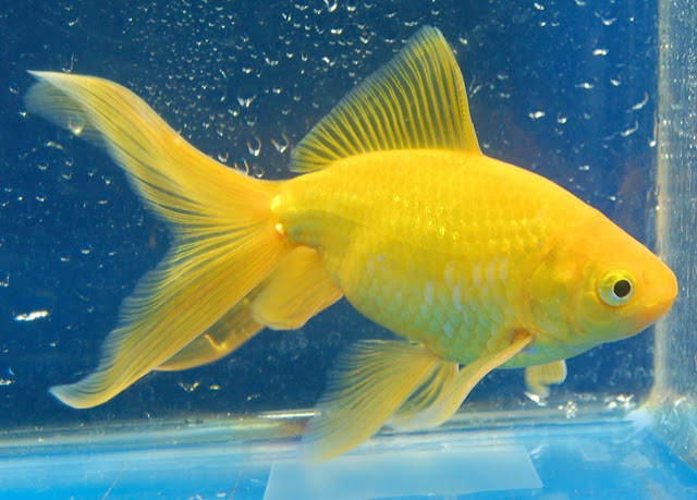 Informasi Harga Supplier Jual Ikan Mas Hias & Bibit Ambon, Maluku
