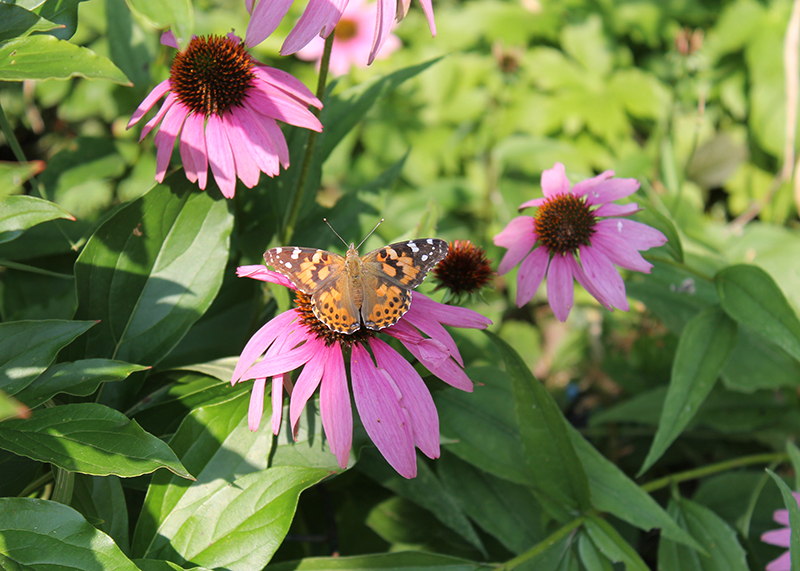 Photo of painted lady butterfly on echinacea by Kathleen Maunder