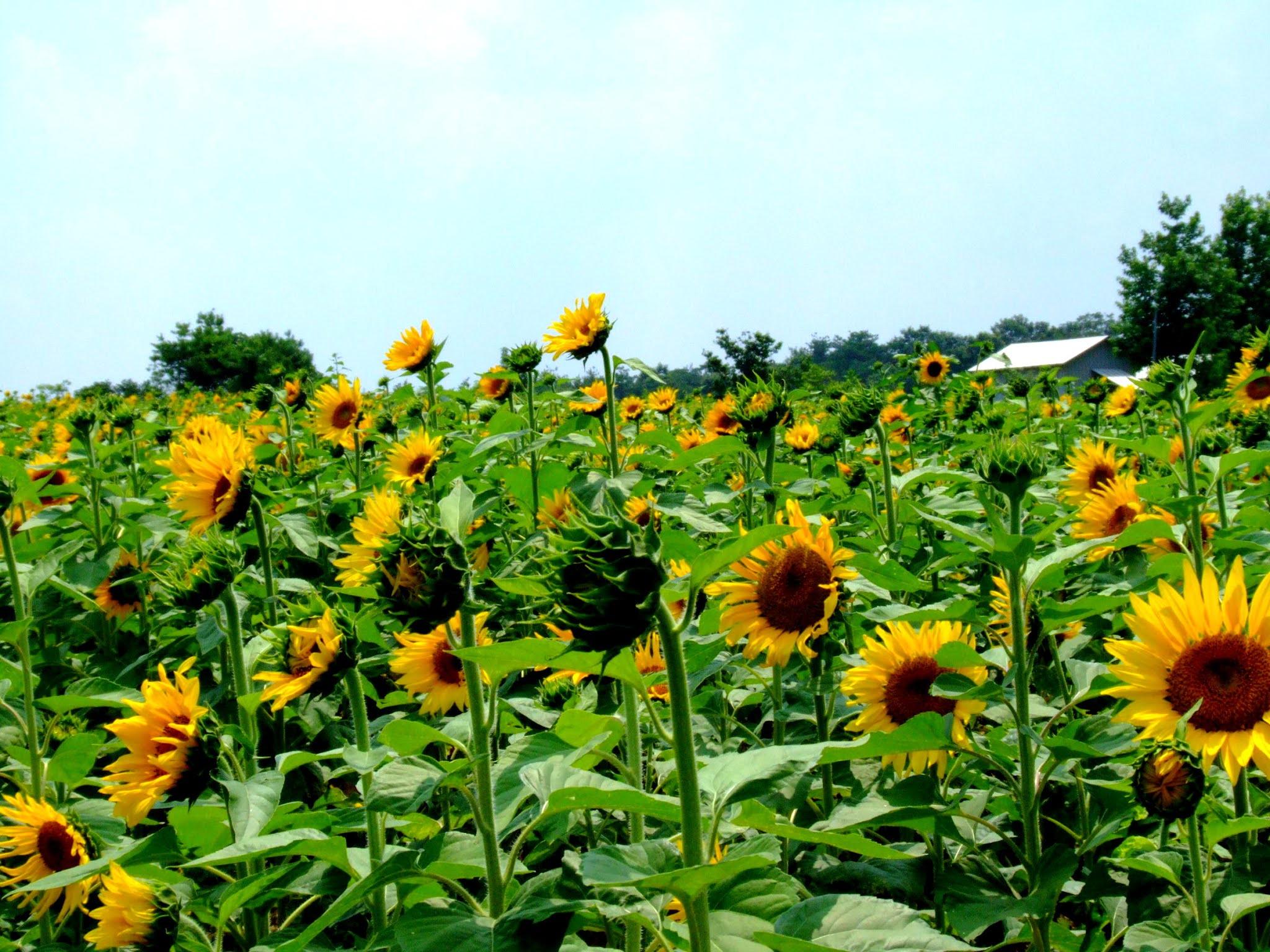 青空 黄色い向日葵(ヒマワリ) 写真素材