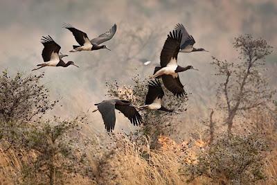 Abdim´s Stork
