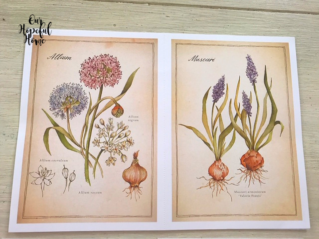 allium muscari bulbs botanical drawing prints