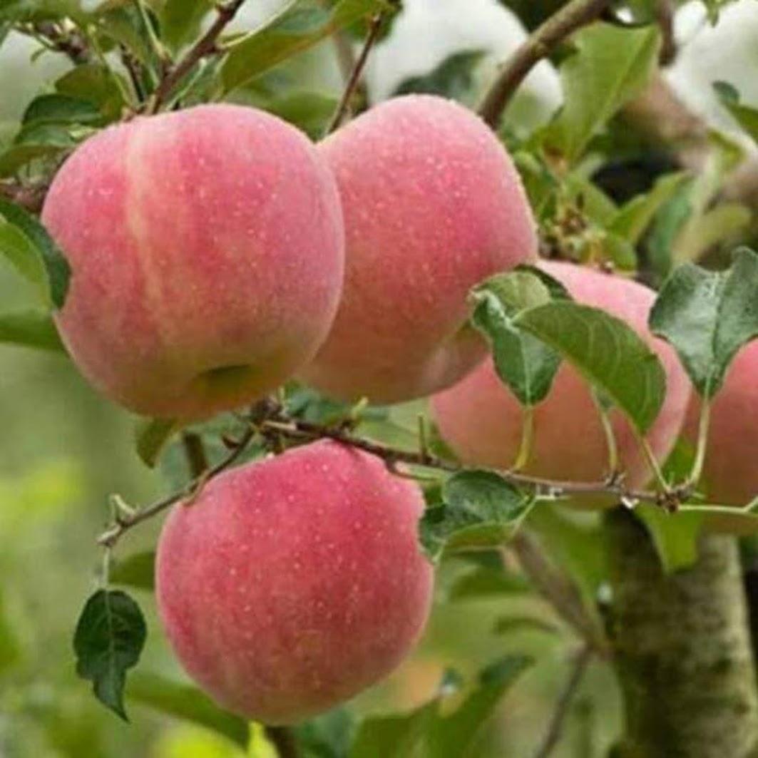 Bibit buah tanaman apel fuji merah hasil cangkok terlaris siap berbunga Sumatra Selatan