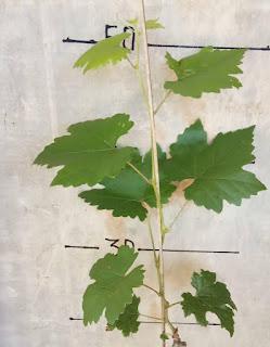 gambar bentuk daun anggur Transfiguration