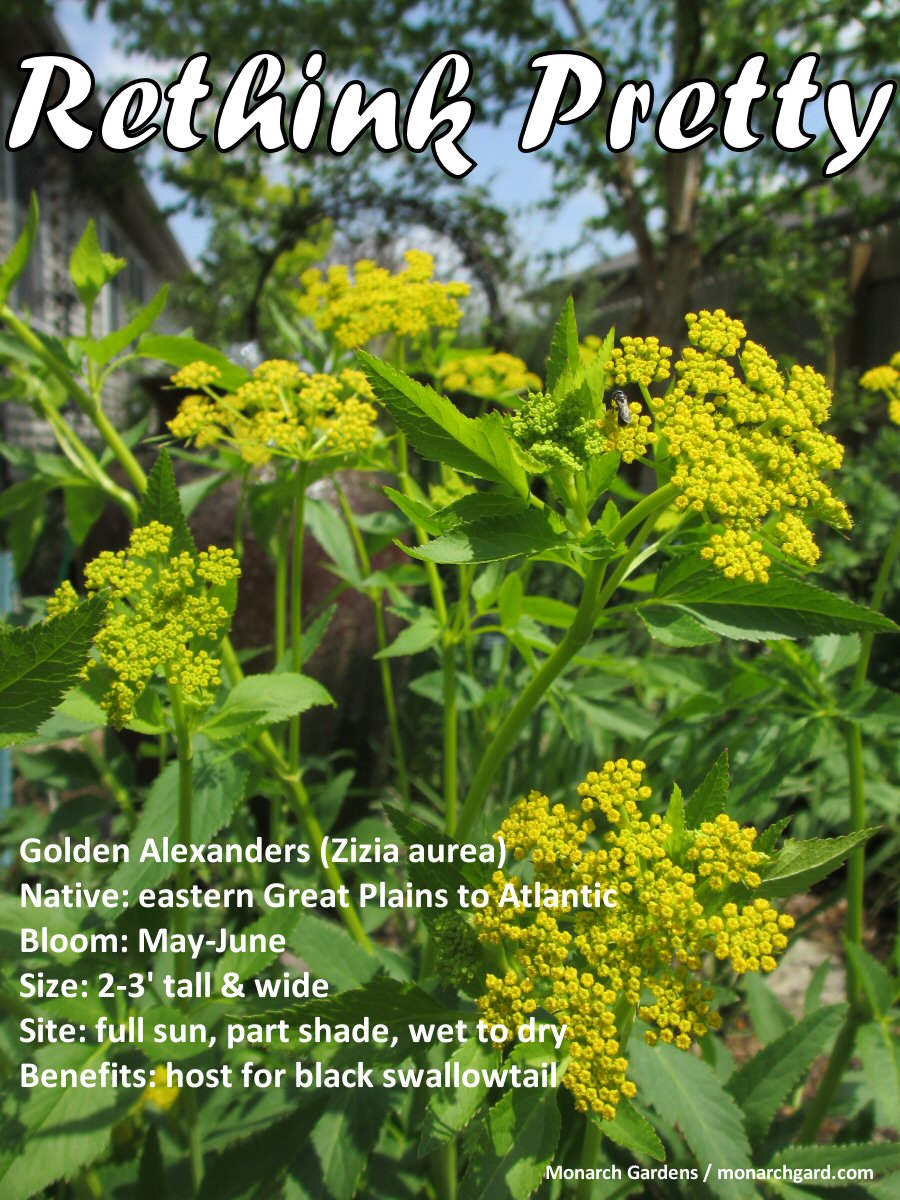 T h e d e e p m i d d l e rethink pretty 12 native plants golden alexanders a may bloomer here in eastern nebraska its an important pollen and nectar source for our many tiny and i mean tiny native bee species mightylinksfo