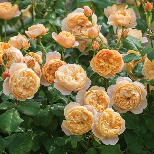 697 Roald Dahl роза