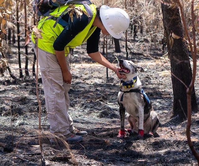 Úc: Bất chấp 'biển lửa' Chú chó dũng cảm lao vào giải cứu hàng loạt con koala mắc kẹt