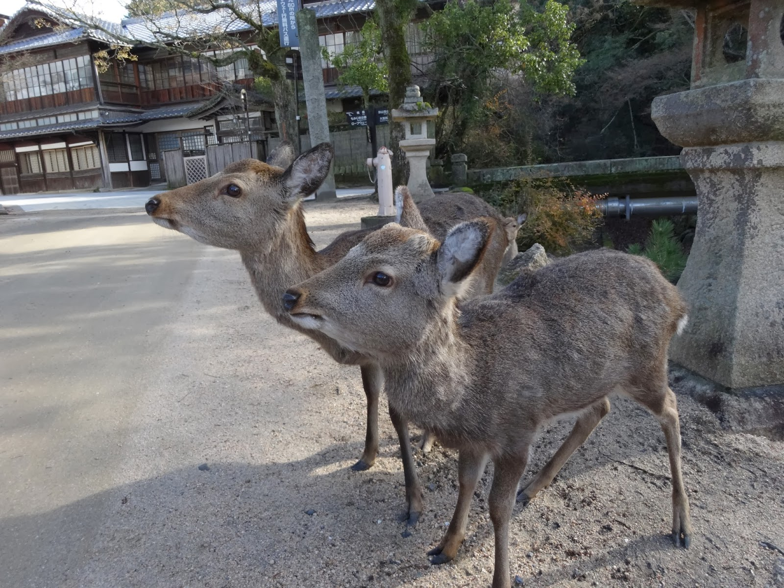 Two curious deer on Miyajima Island