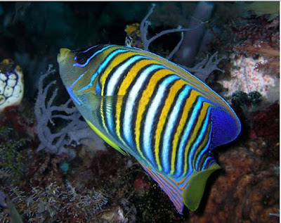 Regal Angelfish ikan laut