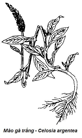 Hình vẽ Mào gà trắng - Celosia argentea - CẦM MÁU