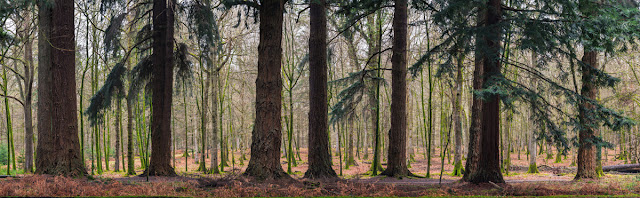 Panorama of giant trees on the Blackwater Tall Trees Trail in the New Forest