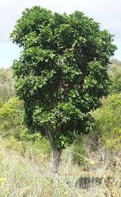 tuckeroo%2Btree.png