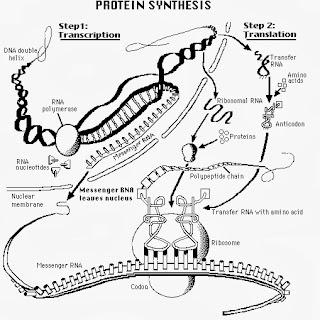Síntese Proteica: Bases de DNA Determinam a Montagem de Sequências de Aminoácidos