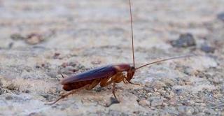 Τρεις φυσικοί τρόποι για να εξαφανίσετε τις κατσαρίδες από το σπίτι σας