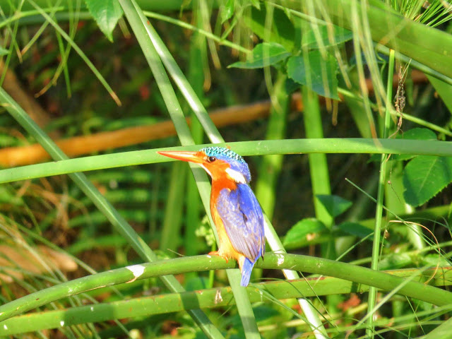 Malachite Kingfisher on Lake Victoria in Uganda